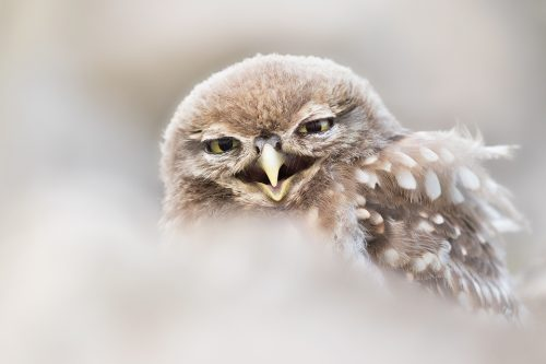 Abstract Screeching Little Owlet - Peak District Widlife Photography