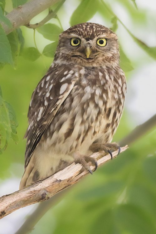 Little Owl resting in a tree by the side of a quiet country lane. Peak District National Park.