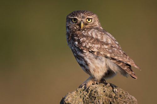 Little Owl Portrait. Adult little owl illuminated by some early evening sunshine. Derbyshire and the Peak District Wildlife Photography