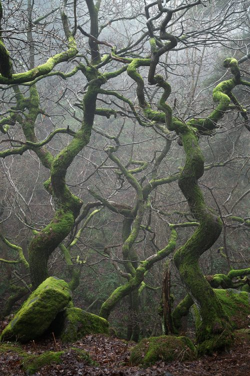 Gnarled Twisting Trees Commended in LPOTY 2017 - Peak District Photography