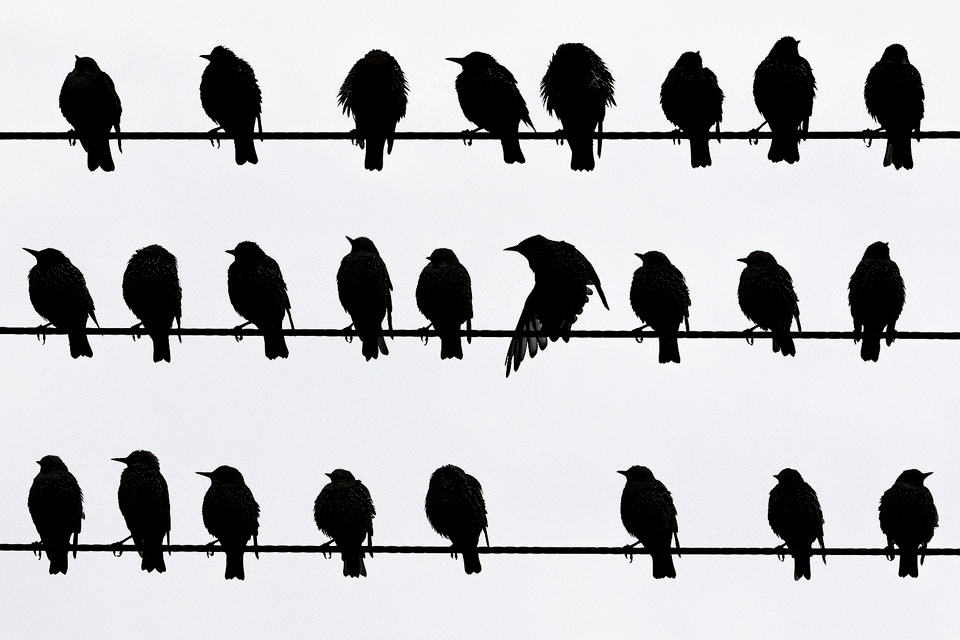 Silhouette image of Starlings resting on some telephone wires - Peak District Wildlife Photography