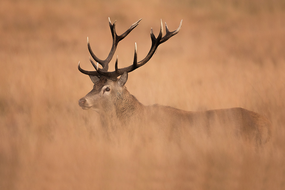 Wild Red Deer stag in long grass - Peak District National Park