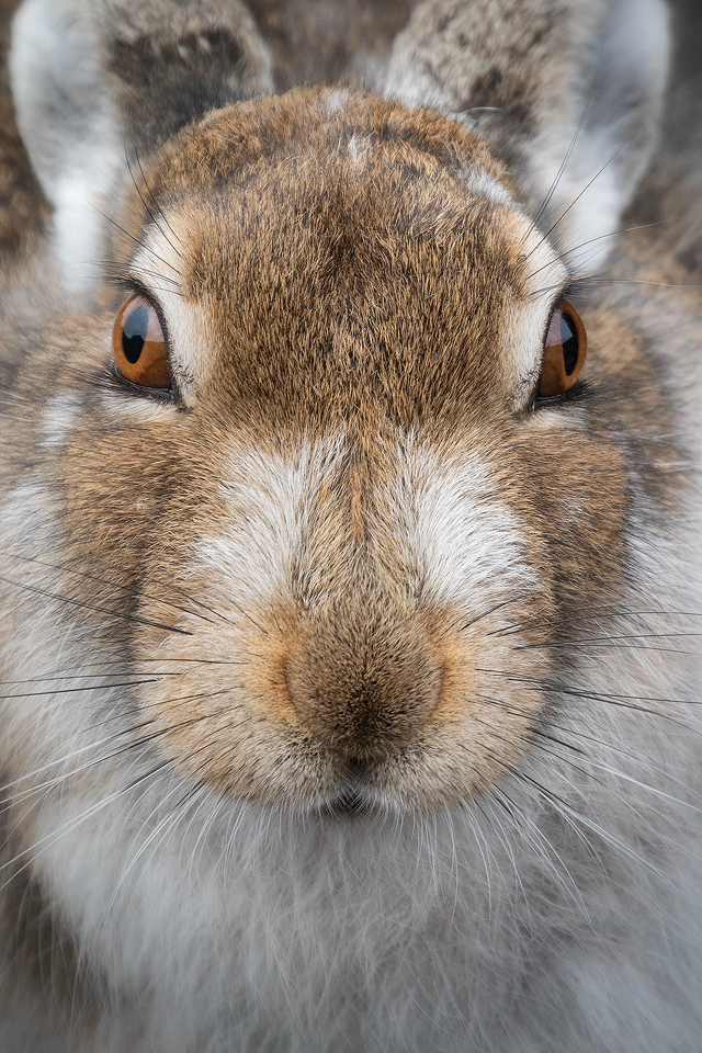 Mountain Hare extreme close up - Mountain Hare Photography Workshop