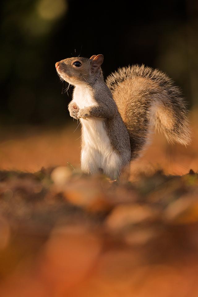 Grey Squirrel in Regents Park, London