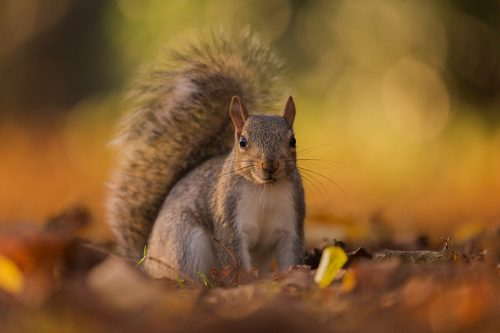 Grey Squirrel in Autumn Leaf Litter, London - UK wildlife Photography