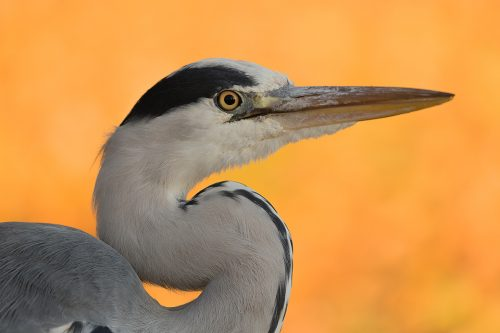 Grey Heron Portrait - UK Wildlife Photography