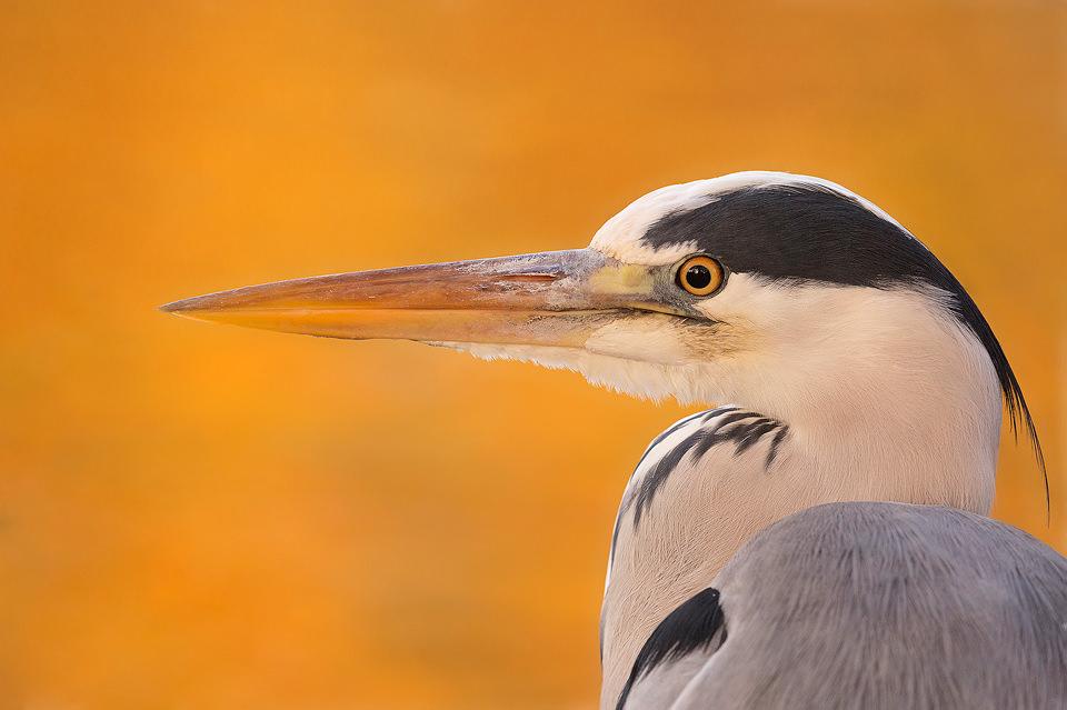 Autumn Grey Heron Portrait - UK Wildlife Photography