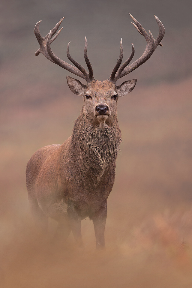 Red Deer Stag - UK Wildlife Photography