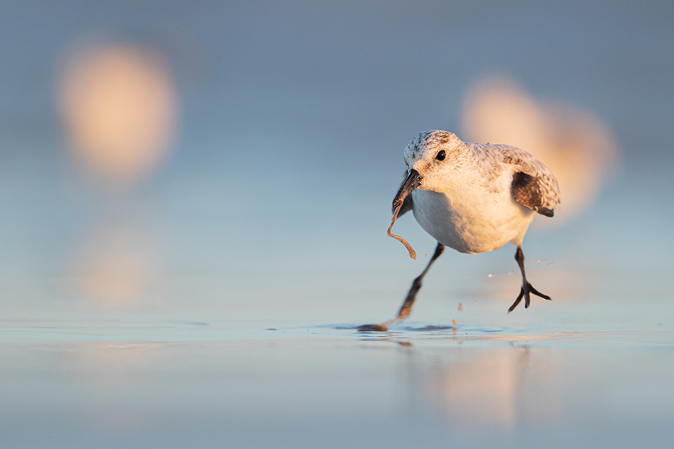 Sanderling with Lugworm. I had been watching a group of sanderlings skittering across the beach following the incoming waves. Suddenly one stopped and immediately caught my attention. In a split second it pulled this wriggling lugworm from the sand. Lincolnshire, UK.