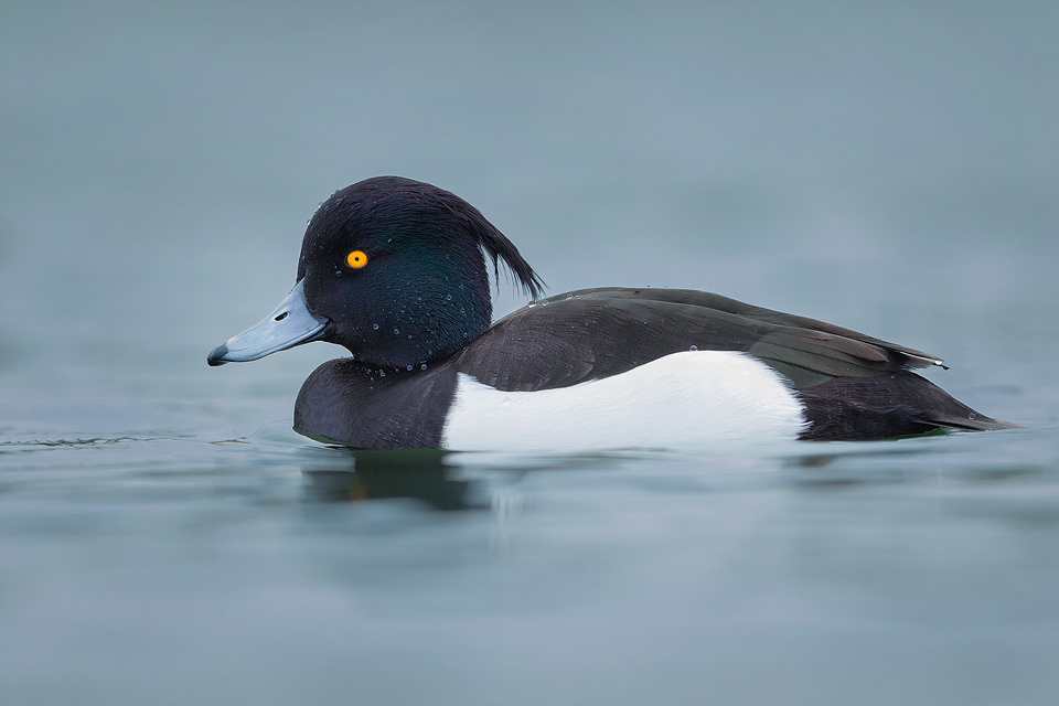 A Tufted Duck (Aythya fuligula) photographed on a nearby Yorkshire reservoir. Tufties often get overlooked as a photographic subject in favour of more colourful or rare water birds. However I have always found them to be very photogenic with their distinctive crests, striking black and white feathers and bright yellow eyes.