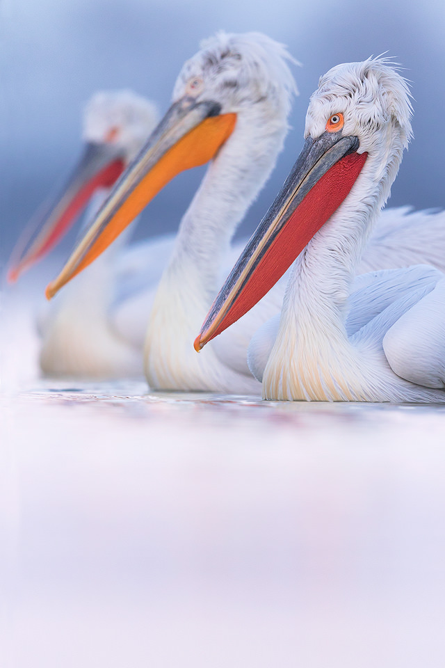 Three in a row. Dalmatian pelicans have a range of bill colours with the reddest bills belonging to the birds in prime breeding condition. Here three birds lined up beautifully showing the difference in colours.
