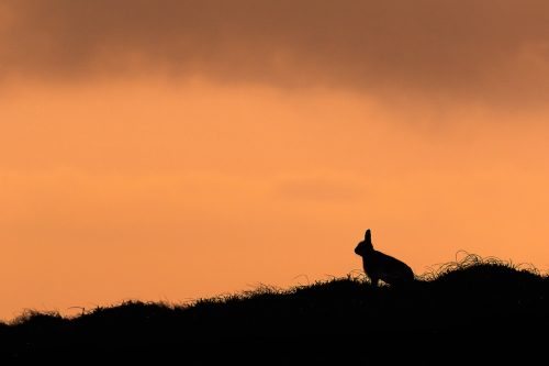 Mountain Hare Silhouette. As the sun started to drop, the hares became much more active, socialising and moving around to feed. This offered some great opportunities to silhouette them against the gorgeous sunset.