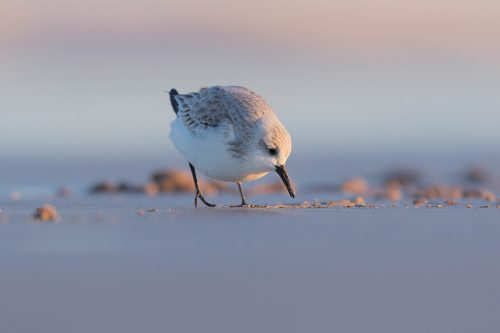 Sanderling foraging on the Lincolnshire mud flats. Whilst out photographing grey seals over the winter months I spent some time on the mud flats photographing waders. By lying completely still and flat on the sand the birds eventually got used to me and began to hunt for grubs just a few metres away. This Sanderling seemed completely oblivious to me, passing within touching distance.