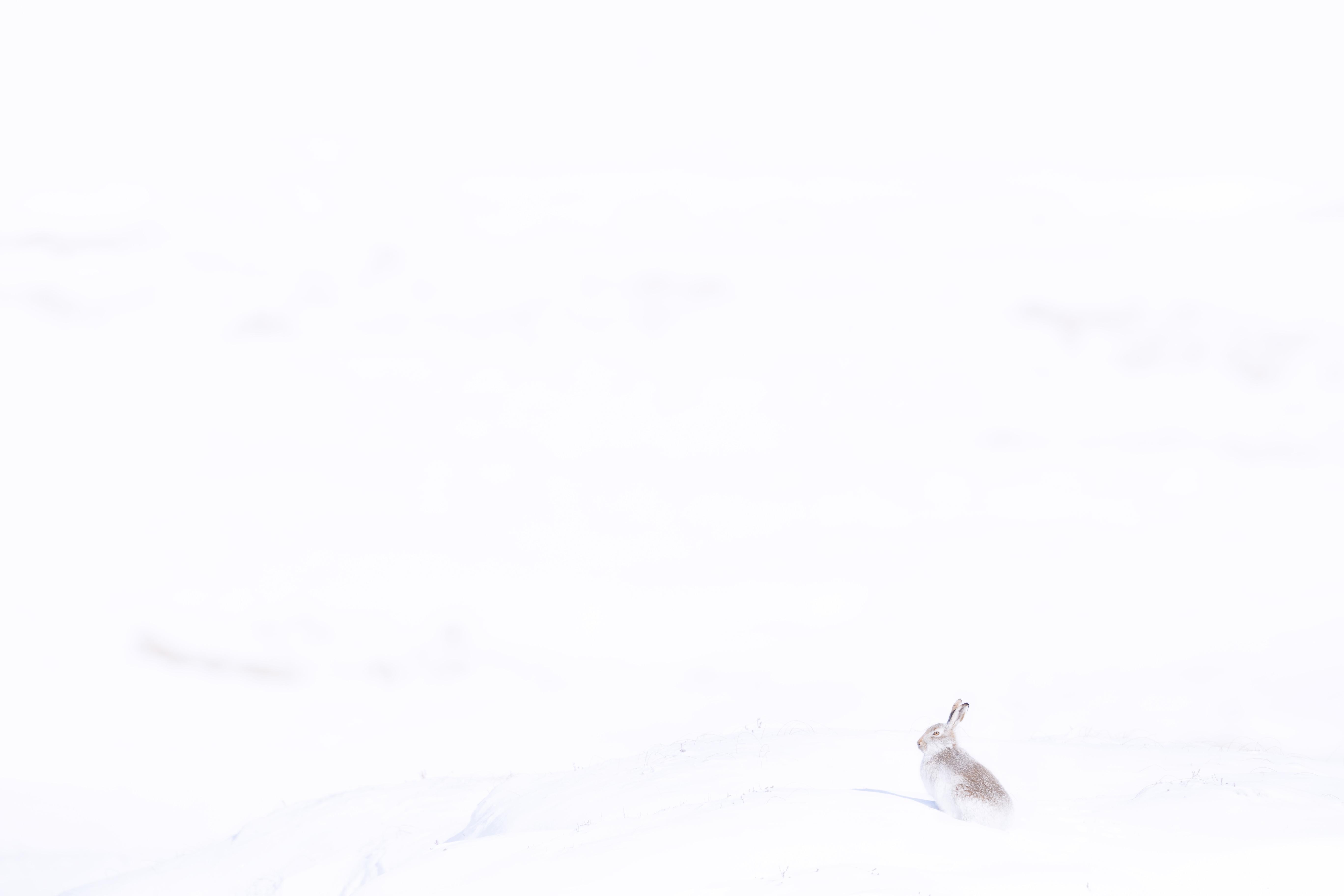 Mountain Hare Snowy Hills