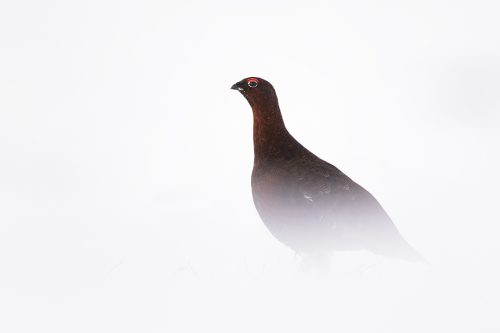 Male grouse amongst deep snow drifts. I really like the simplicity of snowy images like this, it almost looks as though it could have been taken in a studio!