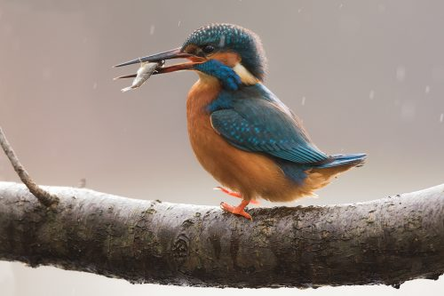 Kingfisher With Fish. As I sheltered from the rain under some dense vegetation, this kingfisher returned to perch just a few metres in front of me with his catch. The glow from the low winter sun and falling rain created a beautiful background for a series of detailed portraits.
