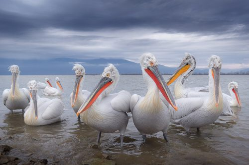 In some areas the pelicans were so habituated that they would come within a couple of metres of us, allowing for some wide angle images. This one was taken at 16mm and looks just like they could be posing for the latest album cover!