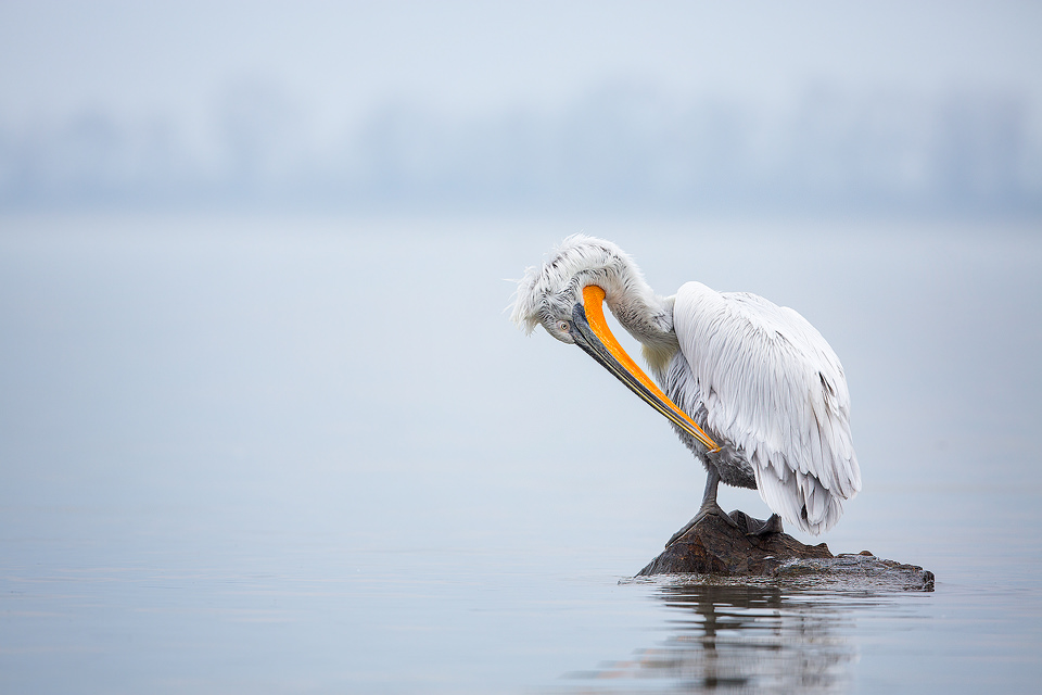 Dalmatian pelican preening on the edge of an artificial island, created specifically to help increase breeding success. Lake Kerkini, Northern Greece.