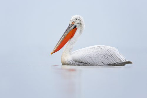 Dalmatian Pelican on Lake Kerkini in Northern Greece. These stunning birds have been in serious decline in recent years but thanks to conservation efforts the population has seen a substantial increase. This classic portrait was taken on a very foggy and dull day that was perfect to show off the elegance of these striking birds.