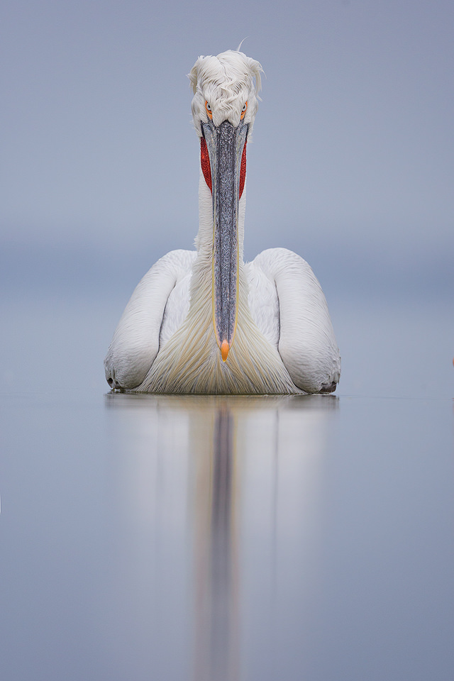 Dalmatian pelican staring straight down the lens. Despite the lack of sunshine during the week, we were blessed with several very calm days that were perfect for reflections.