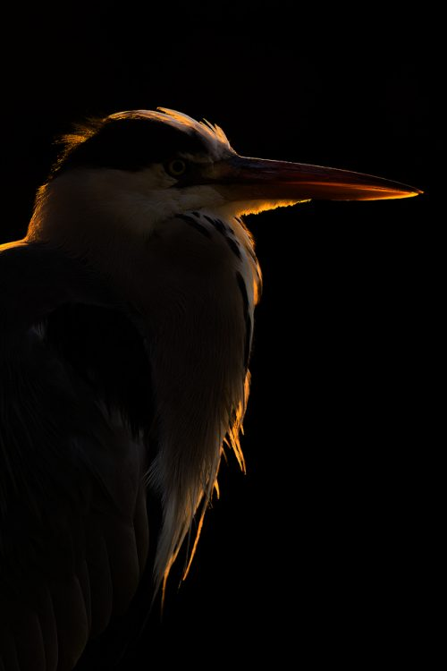 Backlit Heron. Although London may seem a strange choice for wildlife photography, it can actually provide some of the best opportunities as the wildlife is so habituated. This backlit portrait of a grey heron is one of my favourites from a trip to the capital. By exposing for the highlights the subject has some great rim light and the background is completely blacked out.