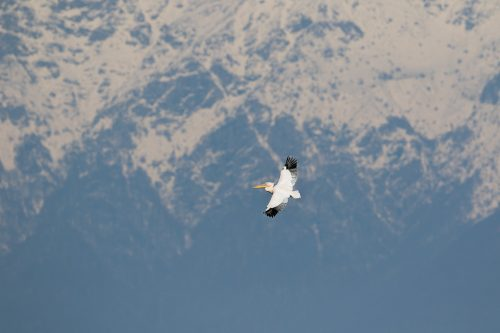 Great white pelican flying past the snow capped mountains surrounding Lake Kerkini in Northern Greece.