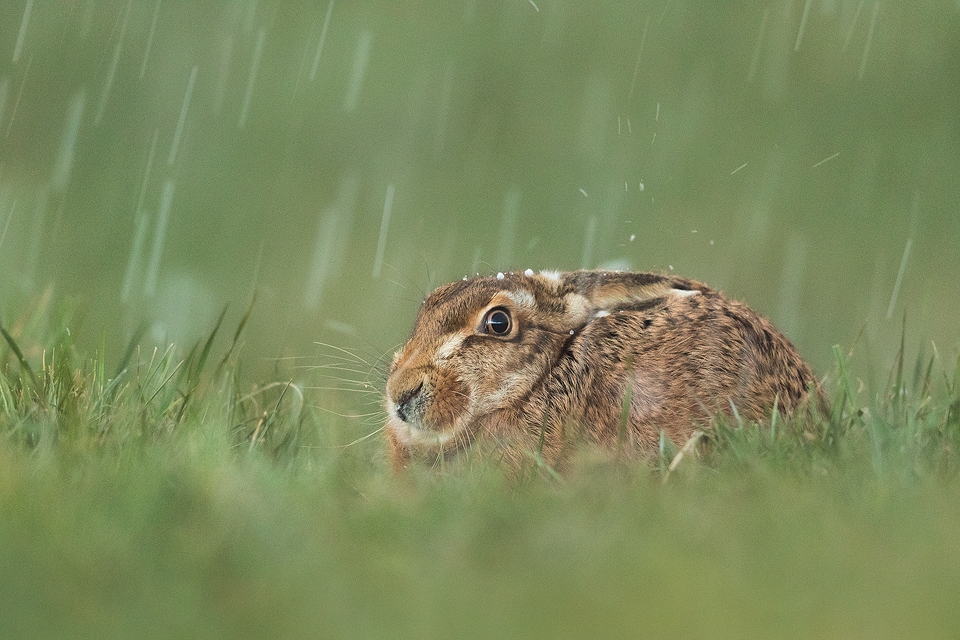 Brown hare photographed during a severe hailstorm in the Peak District National Park. As much as it inconveniences us, the unpredictable weather has a severe impact on the wildlife,especially when they are starting to breed and nest. This brown hare looked as though he was enjoying the hail storm almost as much as me, you can literally see them bouncing off his fur!
