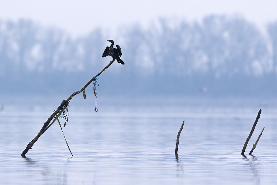 Pygmy Cormorant displaying on the fishing poles in Lake Kerkini, Northern Greece. Lake Kerkini is regarded as one of the best birding sites in Europe, boasting over 300 different species.