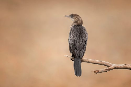 Pygmy Cormorant resting on an old weathered tree on the shores of Lake Kerkini, Northern Greece. Lake Kerkini is regarded as one of the best birding sites in Europe, boasting over 300 different species.