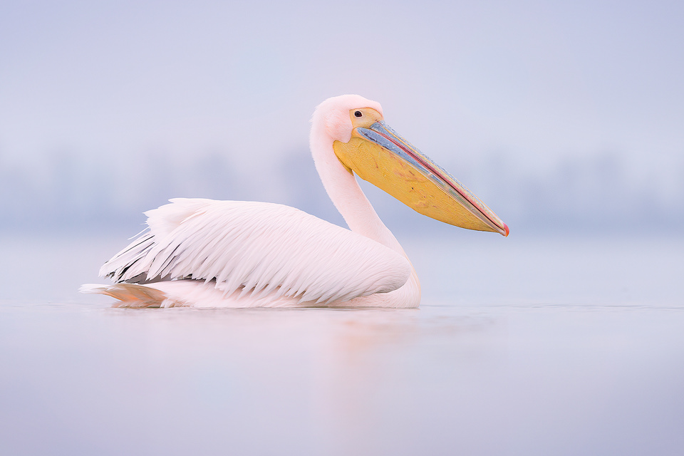Great White Pelican or Rosy Pelican, Lake Kerkini Greece.