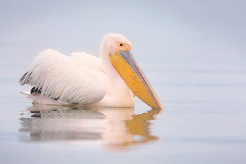 Rosy Pelican (Great white pelican) reflected in the calm waters of Lake Kerkini, Northern Greece. Alongside the Dalmatian Pelicans we spent some time photographing the small population of Rosy Pelicans. There were far less of these gorgeous pink pelicans, so they did seem to get a bit of a raw deal when squabbles over fish occurred! Despite the lack of sunshine during the week, we were blessed with several very calm days that were perfect for reflections.