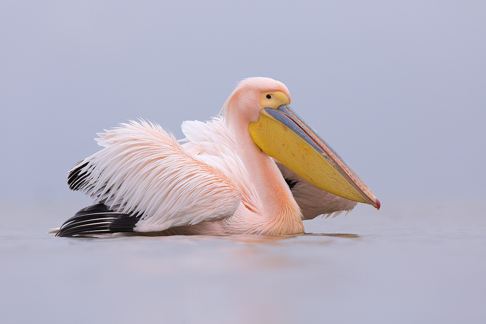 Rosy Pelican in Breeding Plumage, Lake Kerkini, Northern Greece.