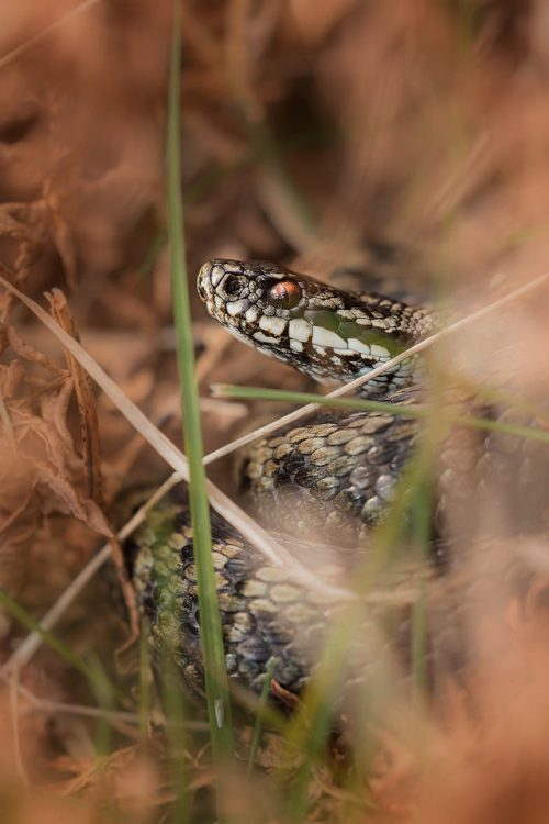 Male Adder, Peak District National Park. One of my favourite projects in early spring is to see how the local population of Adders are doing. Despite the nationwide decline, the Peak District remains a firm stronghold for the UK's only venomous snake. This beautiful male was basking deep amongst the leaf litter next to the hibernacula.