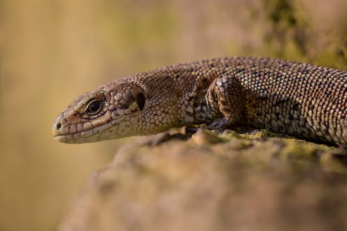 Common lizard basking in some late afternoon sunshine the Peak District. With no sense of scale these look a lot like fearsome Komodo dragons but are in fact only 10-15cm long!