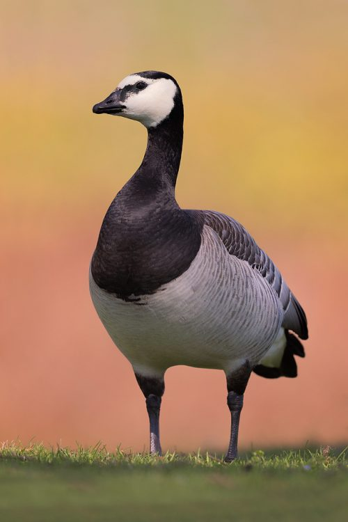 Full body portrait of a Barnacle Goose with colourful background, outskirts of the Peak District National Park. Barnacle Geese are typically found around coastal regions of the UK, migrating here to escape the harsh conditions in the arctic regions of Europe and Russia. However an inland lake that I often visit for waterfowl has enticed a healthy population of these pretty geese. This image was taken during a heatwave where even the waterbirds were feeling the heat, panting and flattening out their bodies in the shade.