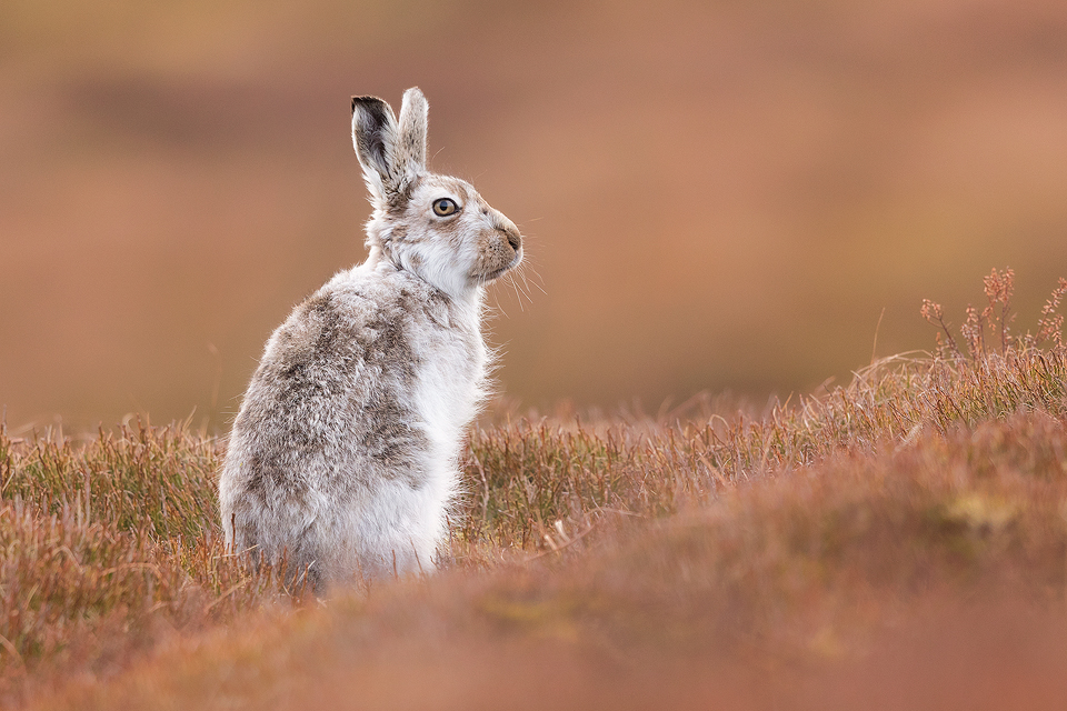 This Mountain hare continually pestered one female until she'd had enough and gave him a good crack before he turned round rather grumpily to look at me! Poor guy! Here I used the low vegetation in front of me to frame the hare, contrasting the cold whites of the hare's fur and the warm browns of the heather.