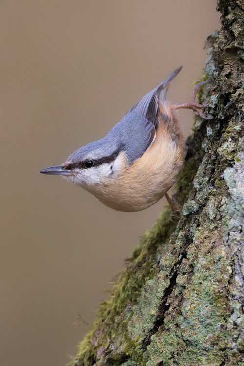 Nuthatch in classic pose on a mossy old tree trunk.Derbyshire, Peak District National Park. Nuthatches are one of our most distinctive native birds, found almost exclusively in woodland. I followed a pair as they collected the moss from the gnarled old trees to build their nest.