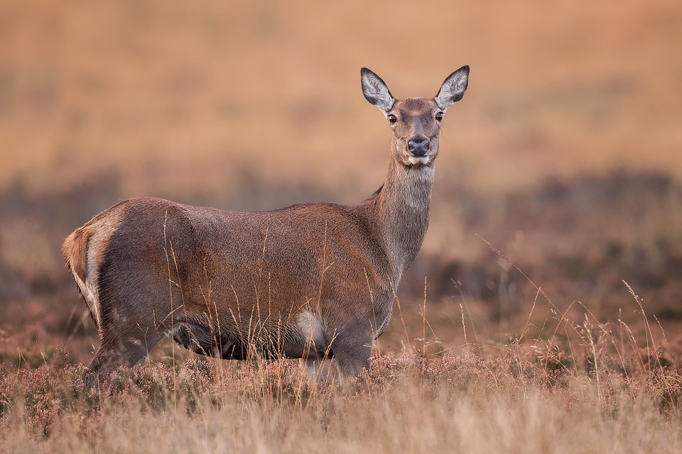 Red Deer Doe, Peak District National Park - Deer Photography Workshop.