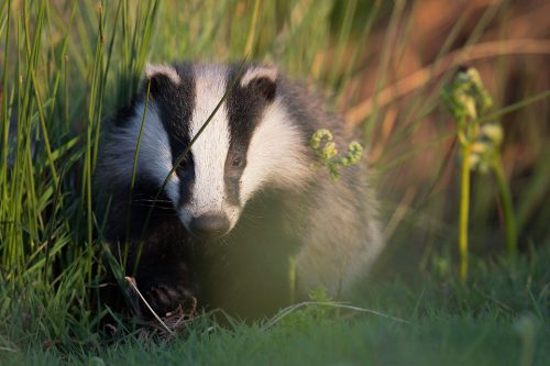 Badger Cub emerging from the sett in the warm evening sunshine. Derbyshire, Peak District National Park.