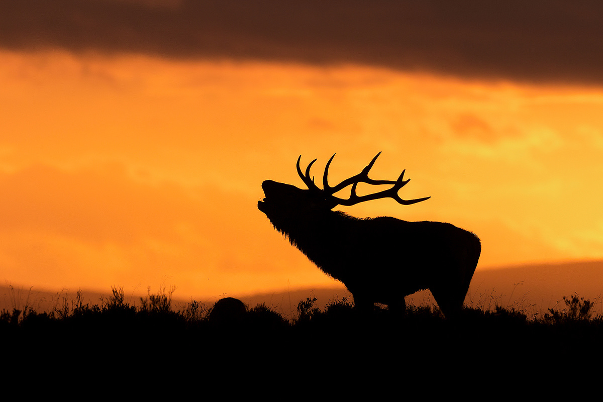 Red Deer Stag silhouetted against the setting sun, Peak District National Park. Much to my delight this stag decided to put on a display right on the crest of a hill, so I positioned myself to silhouette it against the setting sun.