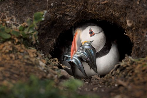 The Puffin Burrow. Puffin peers cautiously out of the burrow with a beak full of sand eels after a vicious gull attack. Puffins nest in burrows in the ground, roughly 1-1.5m long. The male birds dig the burrow using their strong bill and feet to push the soil out behind them. Puffins often return to the same burrow year after year and will defend their territory ferociously.