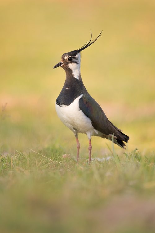 An adult lapwing stands proudly in an arable field below a craggy gritstone edge. Derbyshire, Peak District National Park. Lapwings are the most widespread of our native waders, however sadly this stunning bird has seen a dramatic population decrease and is now a RSPB red list species.