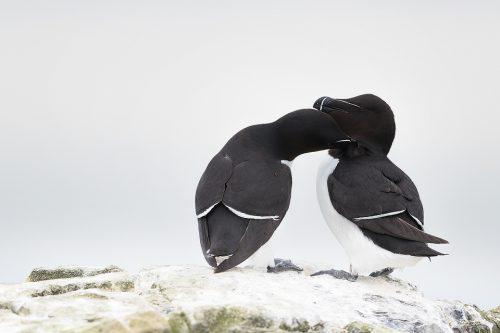 A rare tender moment between two razorbills on Staple Island. These feisty little seabirds are often mistaken for puffins when seen mid flight and are in fact members of the same family, the Auk. With small black eyes on black feathers it can be really tricky to show the razorbill's eyes, particularly on overcast days such as this where there was no chance of a catchlight.