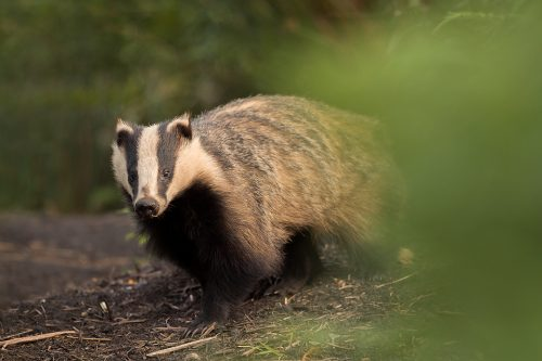 An adult badger emerges from the sett in the last rays of golden evening light. Derbyshire, Peak District National Park. The adult badgers tend to be much more cautious than the inquisitive cubs. It's always a risk taking a photo, as even the sound of the shutter can sometimes send them scurrying back underground.