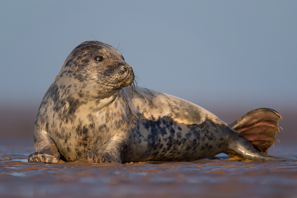 Grey Seal Pup - Grey Seal Photography Workshop
