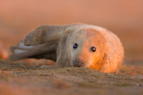 Grey Seal Pup at Sunset - Grey Seal Photography Workshop, Lincolnshire Wildlife Photography