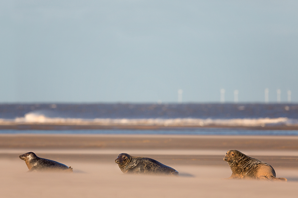 Grey Seals in a Sandstorm - Grey Seal Photography Workshop, Lincolnshire Wildlife Photography