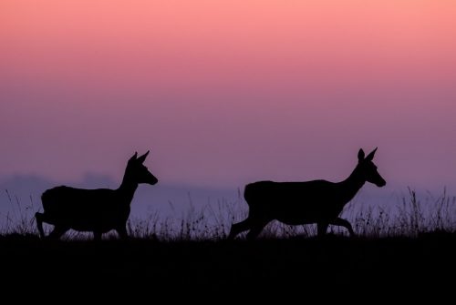 A pair of Red Deer Does silhouette on the horizon at dusk. Derbyshire, Peak District National Park. By approaching incredibly slowly and carefully, I made it very clear to the deer that I wasn't a threat. Eventually the deer became so used to my presence that they eventually ignored me altogether.