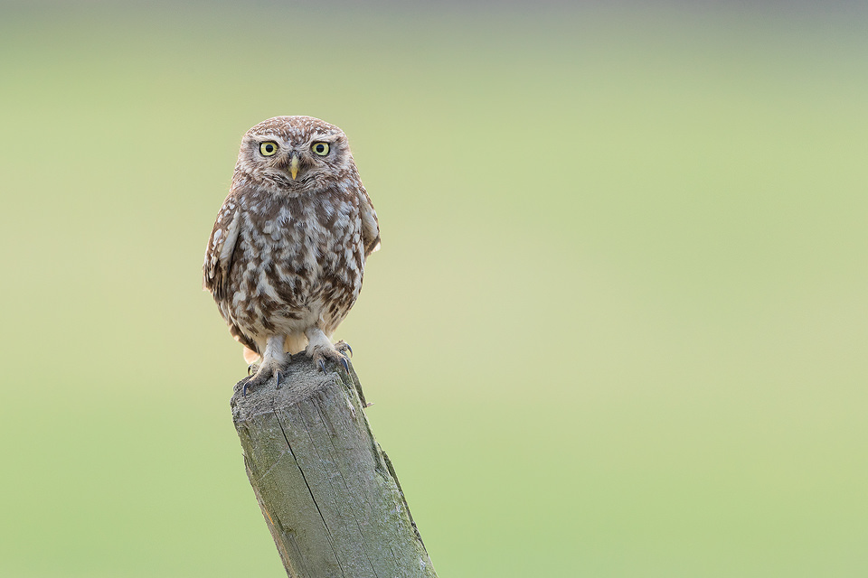 Little Owl on a Fence Post. Derbyshire, Peak District NP. One of the parents of the little owl family I photograph, taking a well earned break in the sunshine. It's great fun watching the owlets as they stomp around the fields, learning to hunt insects. At this age they often don't know what to do when they find something though and end up spooking themselves instead of the bugs! The young typically stick close to the nesting site until late Summer/early Autumn so I will be running my workshops until the young move off to to establish their own territories.