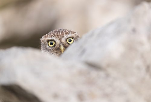 Peekaboo! Little Owl peers over a drystone wall. After ducking behind the wall to hide from a passing cyclist this little owl kept popping their head up to see whether the danger had passed. I couldn't resist laughing as the look it kept giving me was hilarious! Derbyshire, Peak District NP.